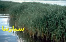 السبارتناx-Spartina_alterniflora