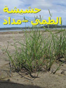 حشيشة الطمي –مداد812)