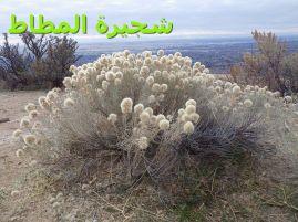 كريزوسامنوث – شجرة المطاط0)
