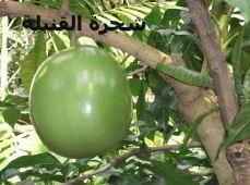 شجرة القنبلةLamiales_-_Crescentia_cujete_8