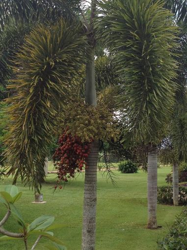 Foxtail_Palm.