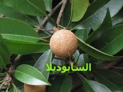 السابوديلاSapodilla_from_Koovery