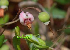 العناب_20
