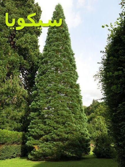 Parc_Fenestre_(isolated_Sequoiadendron_giganteum)