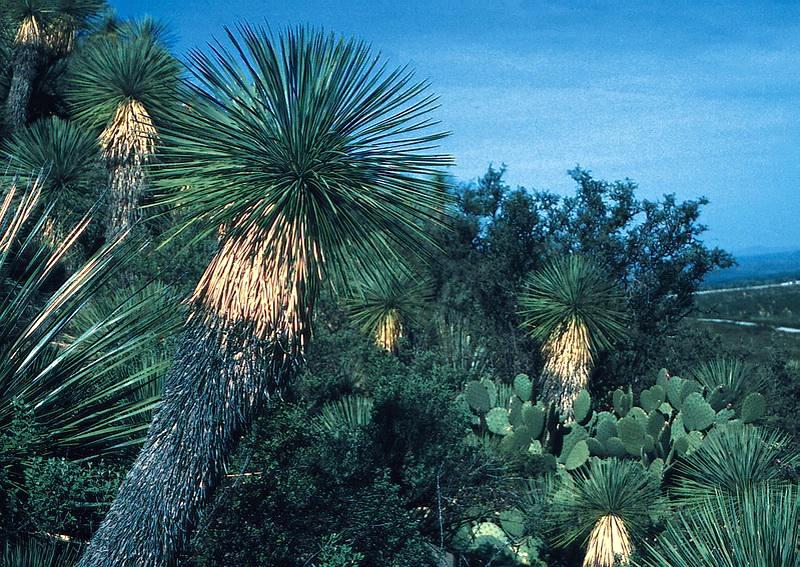 yucca_linearifolia_mex_bb