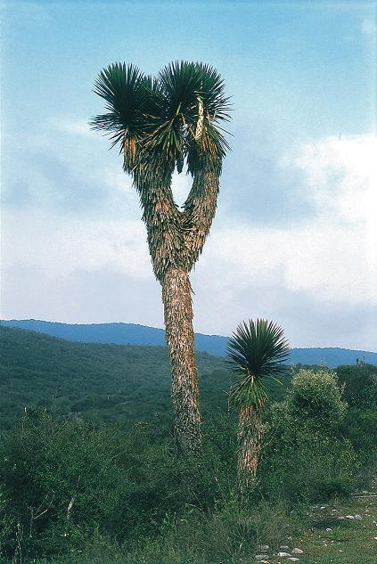 yucca_potosina_fh_0388_mex_b